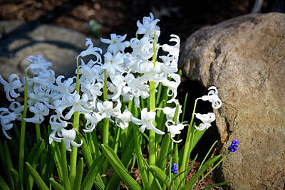 Flower Photograph - Hyacinths In The Garden by Teresa Mucha
