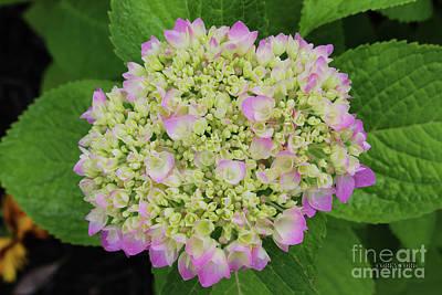 Hydrangea Bloom Print by Corey Ford
