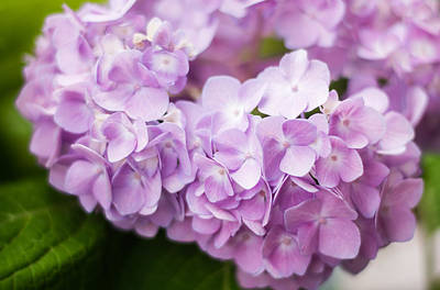 Annabelle Photograph - Hydrangea In Purple by Parker Cunningham