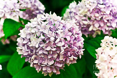 Hydrangea Purple Print by Ryan Kelly