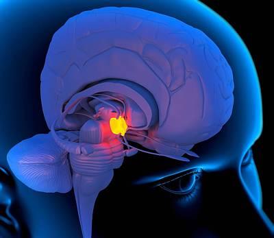 Hypothalamus In The Brain, Artwork Print by Roger Harris