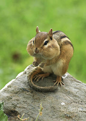 Chipmunk Photograph - I Am Too Stuffed To Move by Deborah Benoit