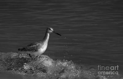 Sandpiper Photograph - I Can Make It - Bw by Marvin Spates