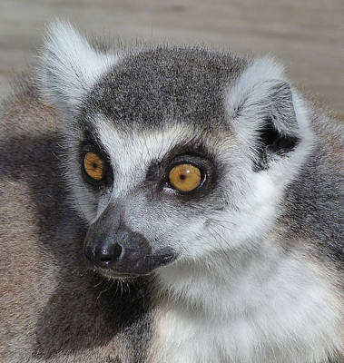Photograph - I Do Not Believe It - Ring-tailed Lemur by Margaret Saheed