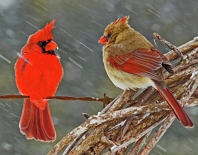 Cardinals. Wildlife. Nature Photograph - I Told You We Should Winter In Florida But Noooo by Ron  McGinnis