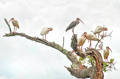Ibis Gathering Print by Donnie Smith