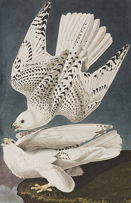 Falcon Drawing - Iceland Falcon Or Jer Falcon by John James Audubon