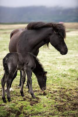 Iceland Horses Print by Detlef Klahm
