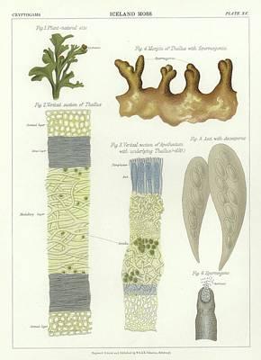 Iceland Moss Print by English School