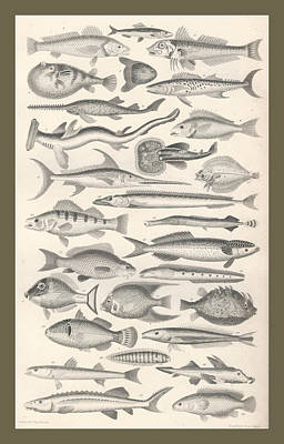 Fish Drawing - Ichthyology by Captn Brown