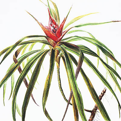 Nature Center Painting - Ieie Plant by Hawaiian Legacy Archive - Printscapes