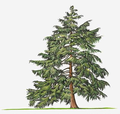 Y120907 Digital Art - Illustration Of Evergreen Tsuga Canadensis (eastern Hemlock, Canadian Hemlock) Tree by Sue Oldfield