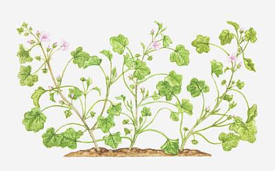 Y120907 Digital Art - Illustration Of Malva Neglecta (dwarf Mallow), Wildflowers by Tricia Newell