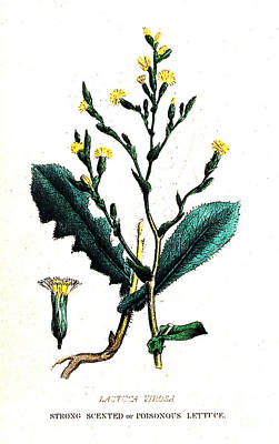 Illustration Of Opium Lettuce, Lactuca Print by Wellcome Images