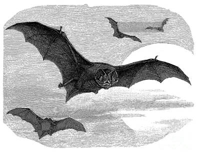 Illustration Of The Barbastelle Bat Print by The one eyed Raven