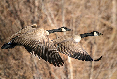 Canadian Geese Photograph - I'm Right Behind Ya by Donna Kennedy