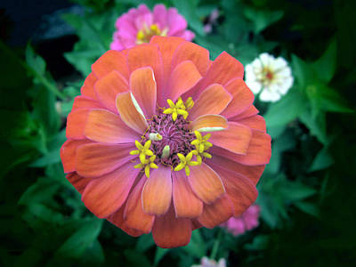 Zinna Photograph - Single Orange Zinnia by John Myers