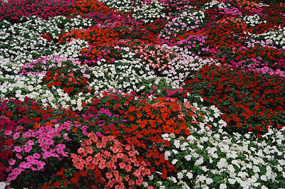 Impatiens Print by Panoramic Images