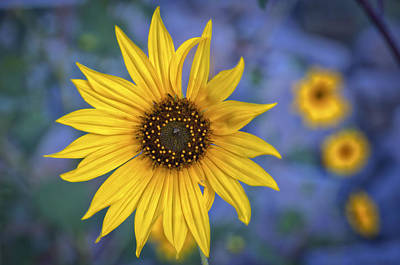 Impressions Of A Sunflower 2 Print by Kurt Golgart