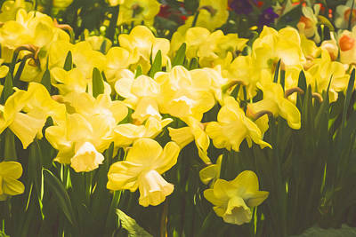 Vivacious Digital Art - Impressions Of Gardens - Golden Daffodil Blooms by Georgia Mizuleva
