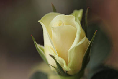 Ivory Rose Photograph - In A Quiet Corner by Connie Handscomb