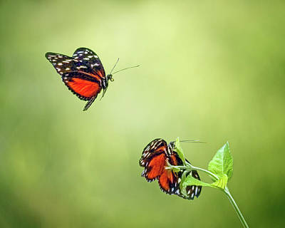 Butterfly In Flight Photograph - In Flight by Nikolyn McDonald