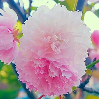 Floral Photograph - In Love With This Delicate #pink #tree by Shari Warren