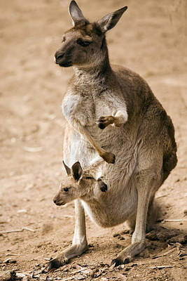 Kangaroo Photograph - In  Mother's Care by Mike  Dawson