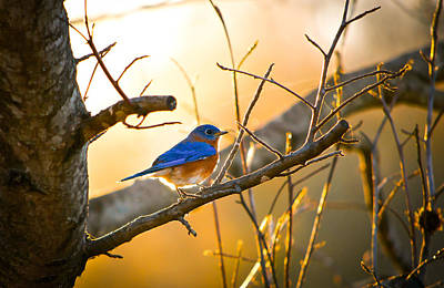 Bluebird Photograph - In The Light by Shelby  Young