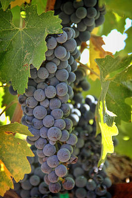 Cambria Photograph - In The Vineyard by Nancy Ingersoll