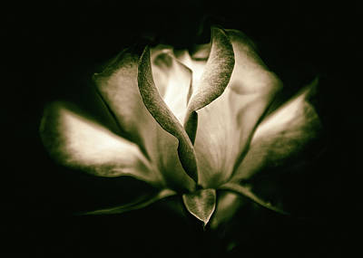 Duotone Photograph - Incandescent Rose by Jessica Jenney