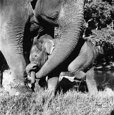 Mother Elephant Photograph - Indian Elephants by Ylla