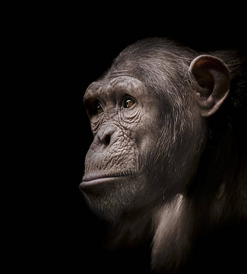 Chimpanzee Photograph - Indignant by Paul Neville