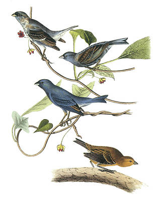 Bunting Painting - Indigo Bunting by John James Audubon
