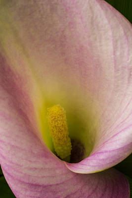 Inside A Calla Lily Print by Garry Gay
