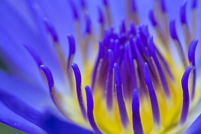 Inside The Blue Lotus Print by Priya Ghose
