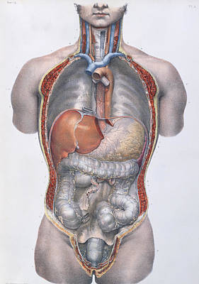 Internal Organs Drawing - Internal Organs by Nicolas Henri Jacob