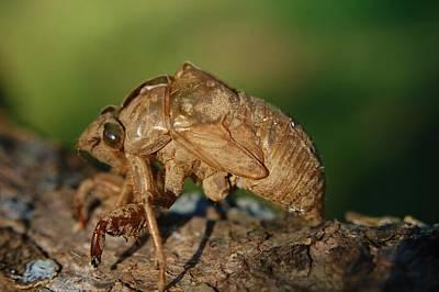 Photograph - Iowa Cicada by Jame Hayes