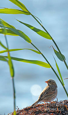 Sparrow Photograph - Ipswich Sparrow by Jennifer Robin