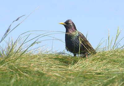 Starlings Photograph - Iridescence  by Fraida Gutovich
