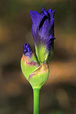 Iris Buds Print by Donna Kennedy