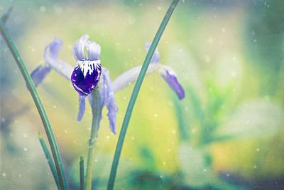 Iris Dreams - Iris Reticulata Print by Priya Ghose