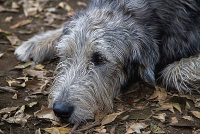 Irish Wolfhound Photograph - Irish Wolfhound Ivan by Agustin Uzarraga
