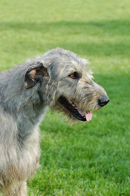 Irish Wolfhound Photograph - Irish Wolfhound Portrait by Waldek Dabrowski