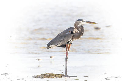 Tide Photograph - Island Heron-digital by J Darrell Hutto