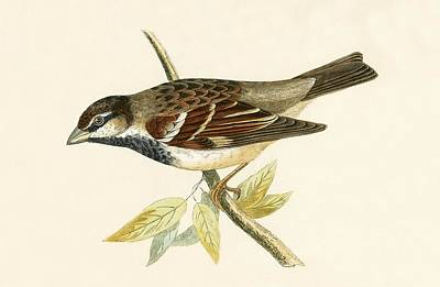 Sparrow Drawing - Italian House Sparrow by English School