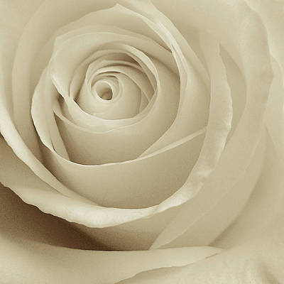 Ivory Rose Photograph - Ivory Rose by Don Spenner