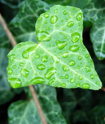 Ivy Leaf Print by Michael Peychich