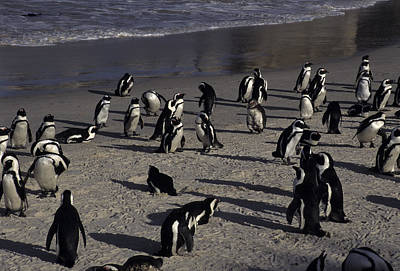 Jackass Penguins On The Beaches Print by Stacy Gold