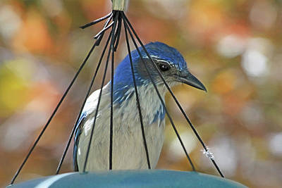 Bluejay Photograph - Jail Bird by Donna Kennedy